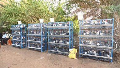 صورة تنفيذ أول مبادرة في سلاسل القيمة للإنتاج الحيواني المنزلى بكفر الشيخ