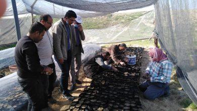 صورة زراعة 10 ألاف شتلة لوز ومورنجا لتوزيعها مجانا على مزارعي شمال سيناء