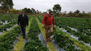 """صورة """"الزراعة"""" : لأول مرة في دمياط.. نجاح تجربة زراعة الفراولة بالتنقيط"""