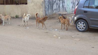 صورة بالصور.. انتشار الكلاب الضالة تهدد المواطنين بمدينة طنطا