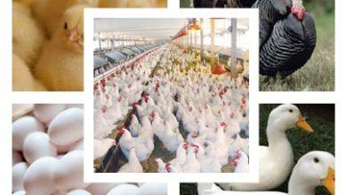 صورة ننشر لكم أسعار الدواجن والبط والرومى والكتاكيت وكرتونة البيض اليوم الجمعة 8 يناير 2021