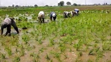 صورة زيادة مساحة الأراضي المنزرعة بالأرز من ٤٠٠٠ الي ١0٠٠٠ فدان بسهل الطينة  ببور سعيد