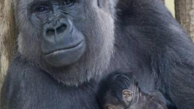 صورة حديقة حيوان برلين تشهد مولد أول صغير غوريلا منذ 16 عاماً